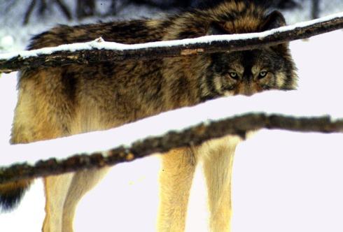 wolf-590752_960_720