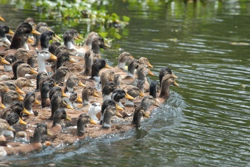 duck-1519685_640