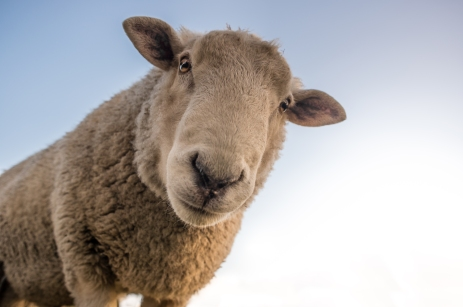 sheepalapexels