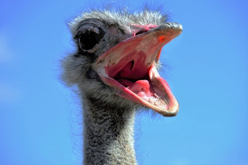 the-ostrich-1658267_1280