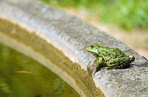 frog-1505377_1280
