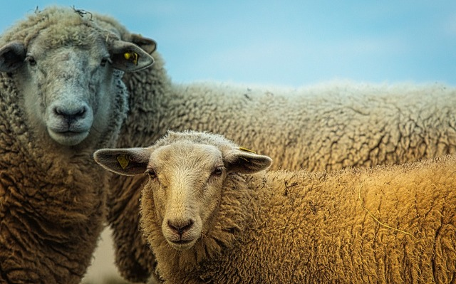 sheep-3727049_1280